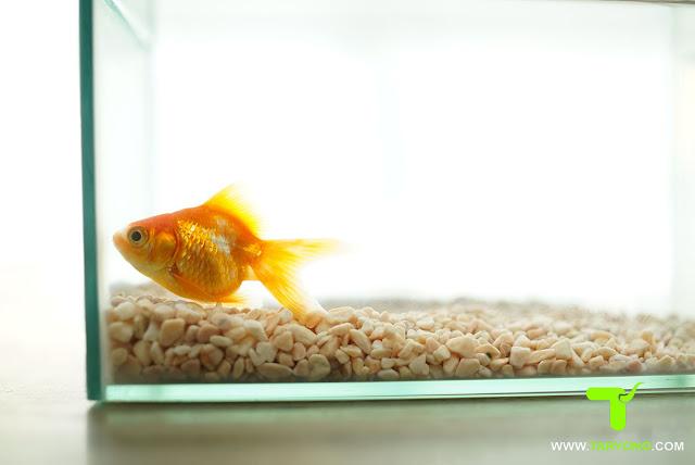 Penyakit Pada Ikan Mas Koki dan Cara Pengobatannya