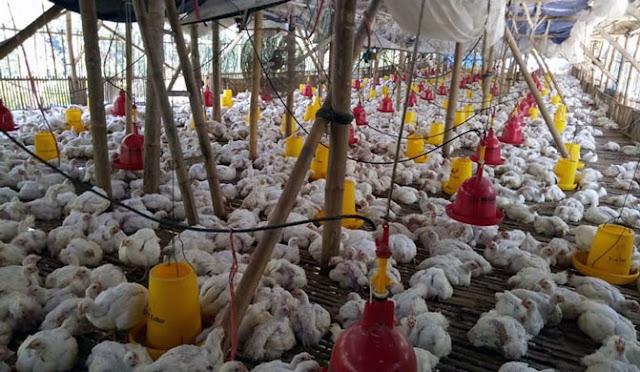 Peternakan ayam di Lumajang