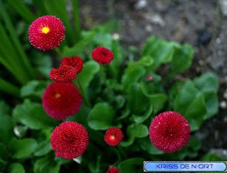 Pâquerette des jardins - Pâquerette horticole