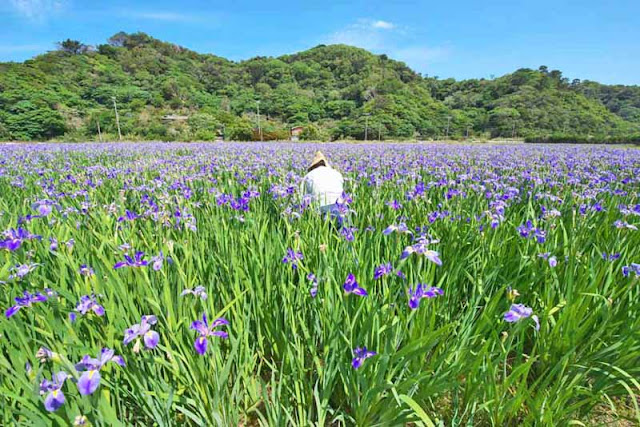 flowers, iris, photographer, fields, mountains, Okinawa