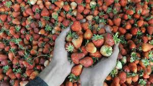 http://www.londontimenews.info/2018/11/australia-strawberry-scare-woman.html