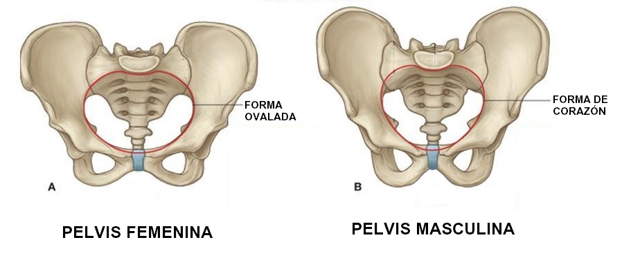 Anatomía de la pelvis