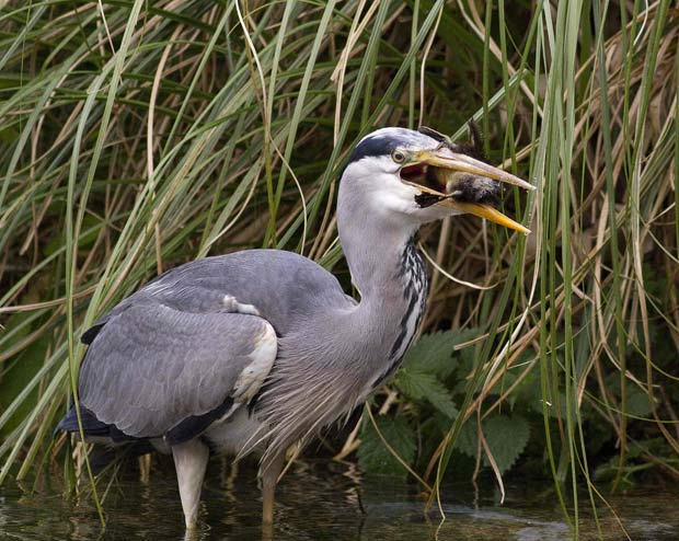 heron eating baby ducks