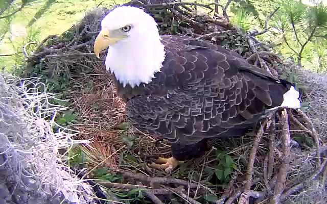 Eagle Diet & Feeding