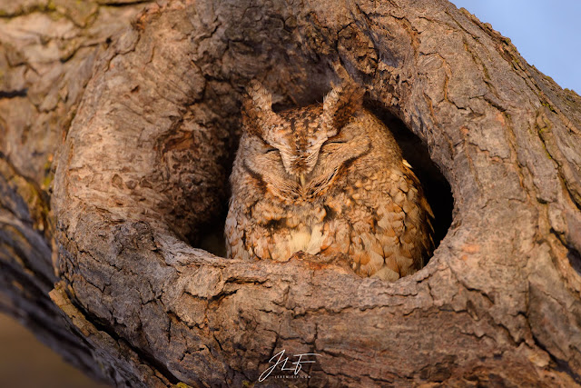 nikon 500mm f5.6pf, nikon, 500mm, 500mm pf, photographie, wildlife, wild, photography, petit duc maculé, eastern screech owl, bird, animal, bird of prey, owl,