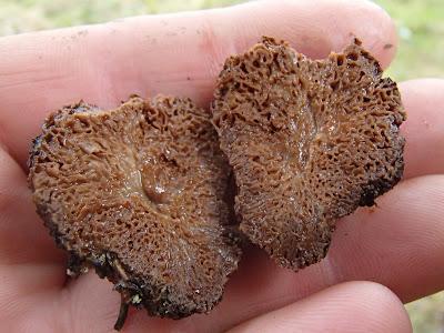 grzyby 2017, grzyby w kwietniu, grzyby w maju, grzyby na wypaleniskach, grzyby wiosenne, krążkowniaca wrębiasta, Onygena equina - rogowniczka końska, twardnica bulwiasta, drobnołuszczak jeleni, gautieria, Geopyxis carbonaria garstnica wypaleniskowa, kustrzebka, Ophiocordyceps gracilis maczużnik wysmukły