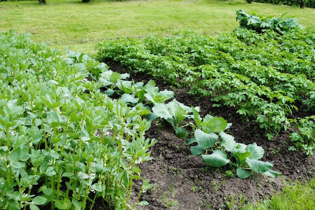 Põldoad, kapsad ja varajane kartul