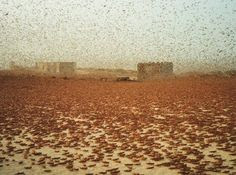 A Huge swarm of desert locusts