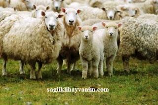 koyunlarda yanıkara hastalığının belirtileri