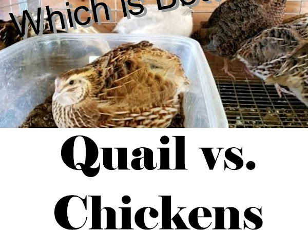 Quail vs. Chickens: Which is Better? (with Video)
