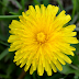 Dandelion's Key Components, Health Benefits, Side Effects and Cautions