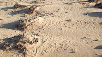 Semipalmated plovers and semipalmated sandpipers tracks behind seaweed – Brackley Beach, PEI – Oct.3, 2014 – © Denise Motard