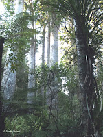 Manginangina Reserve of Kauri trees, North Island, New Zealand