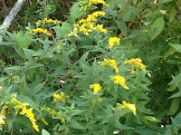 how to use natural dyes goldenrod nancy tranter