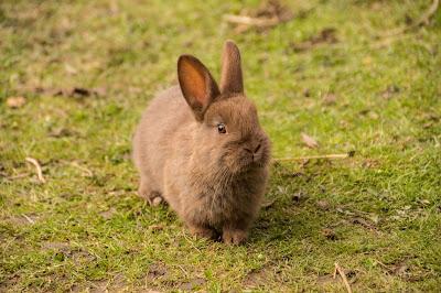 Gambar Kelinci coklat