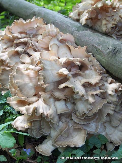 żagwica listkowata, grzyby podlasia, jesienne grzybobranie, podlasie 2016, urlop w lesie, na grzyby, grzyby gatunkami, puszcza białowieska