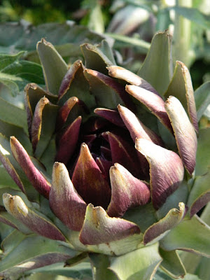 Globe artichoke Cynara cardunculus at the Toronto Botanical Garden by garden muses-not another Toronto gardening blog