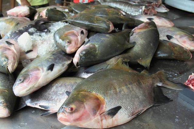 Só o mercado interno de Rondônia consome mais de 7 mil toneladas de tambaqui por ano
