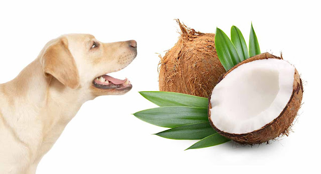 Coconut Oil Is The Best Natural Flea Killer for Dogs