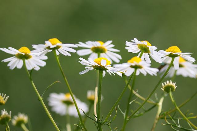 Popular Ayurvedic Medicines/Plants-chamomile