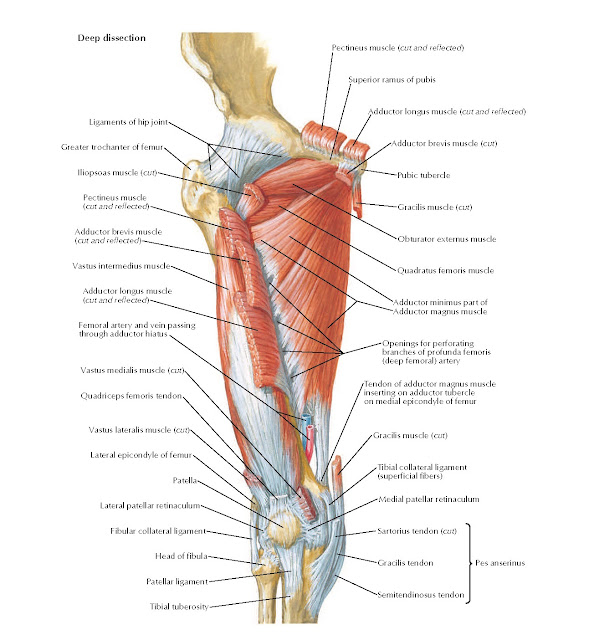 Muscles of Thigh: Anterior Views Anatomy