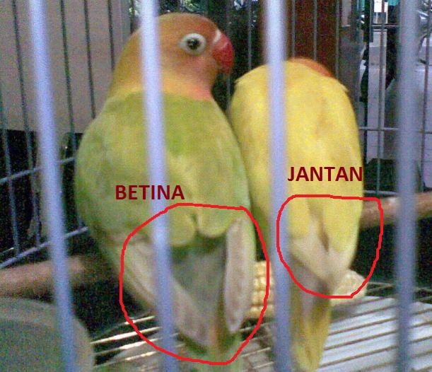 Perbedaan Lovebird Jantan Dan Betina Peternakan Dan Perkebunan