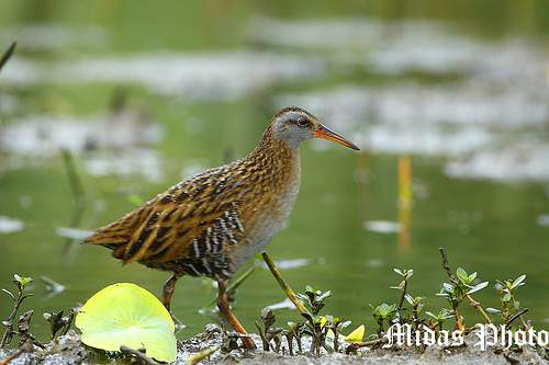 Birds of India - Eastern rail - Rallus indicus