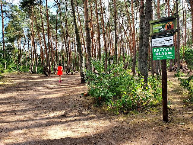 Krzywy Las jak powstał jak dojechać - pomnik przyrody - Gryfino - Nowe Czarnowo - zachodnipomorskie - Polska z dzieckiem - podróże z dzieckiem - aktywnie z dzieckiem