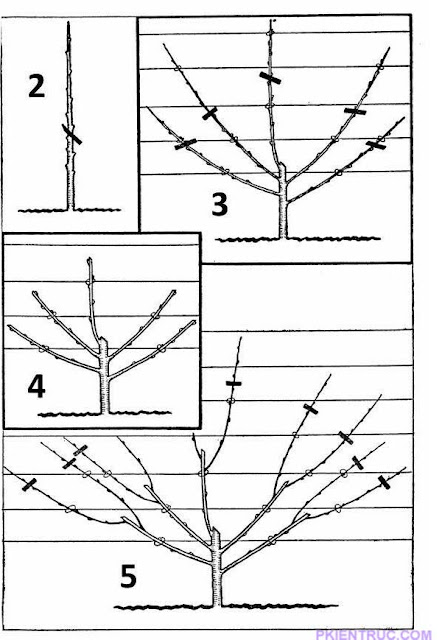 kỹ thuật tỉa cây và tạo cành từ nhỏ