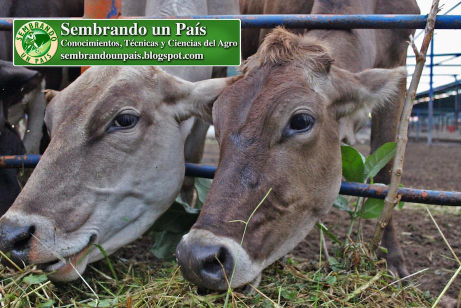 bovinos pastando
