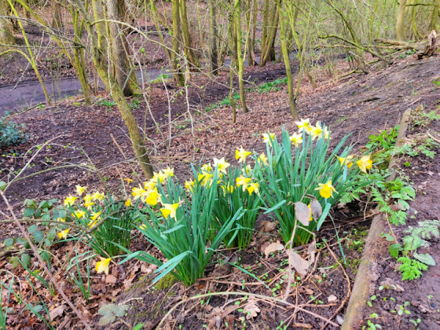 Clumps of daffodils on the woodland bank