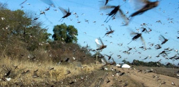 URUGUAY - El SINAE exhorta a notificar ante avistamiento de langostas