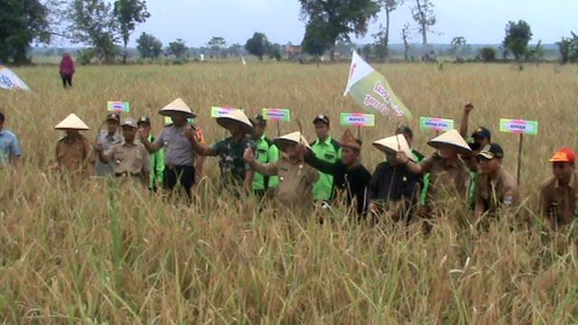 Panen Raya Padi Desa Pauh, Bupati Janji Buka 2.000 Hektar Lahan Pertanian Baru
