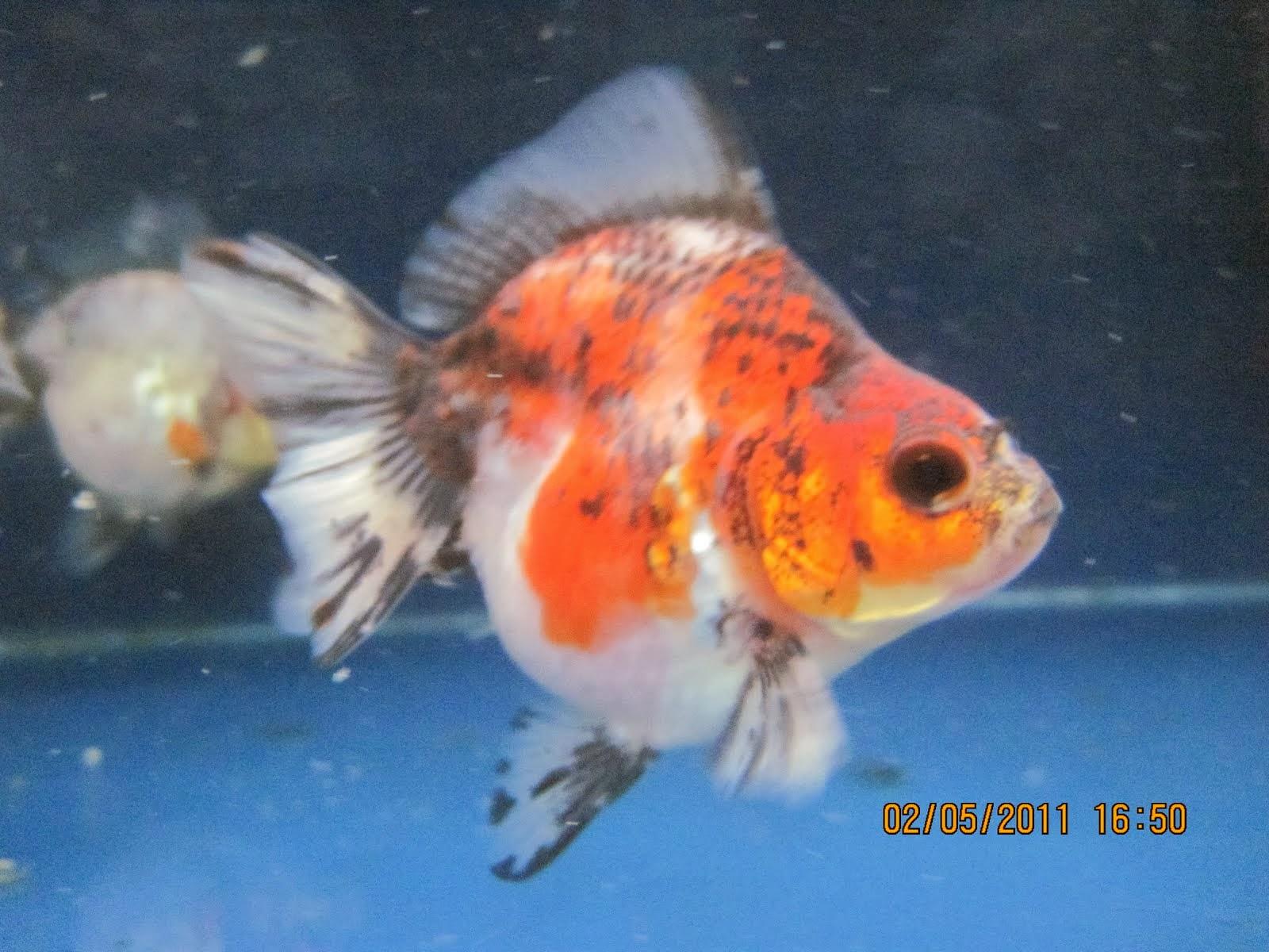 fish share GAMBAR  IKAN  HIAS KOI  PILIHAN 4