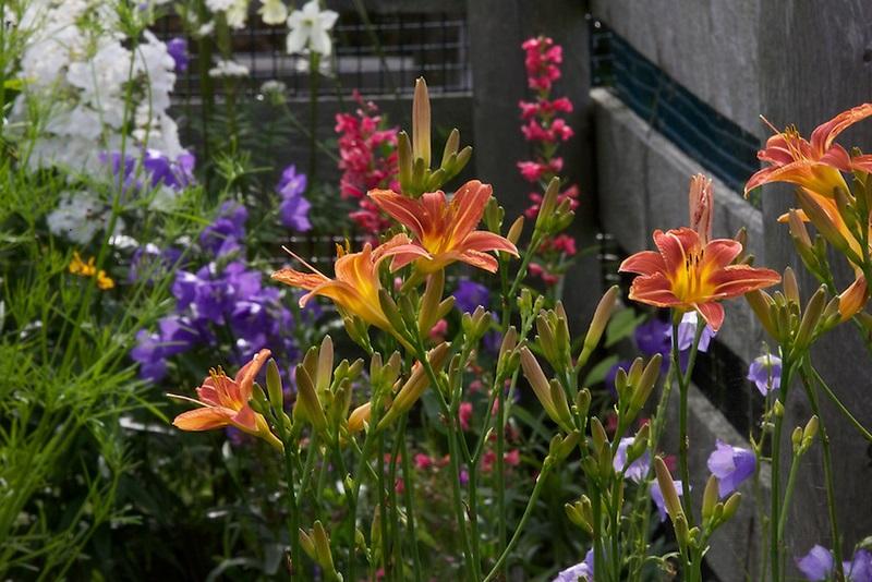pradera flores lirio de un día (Hemerocallis)