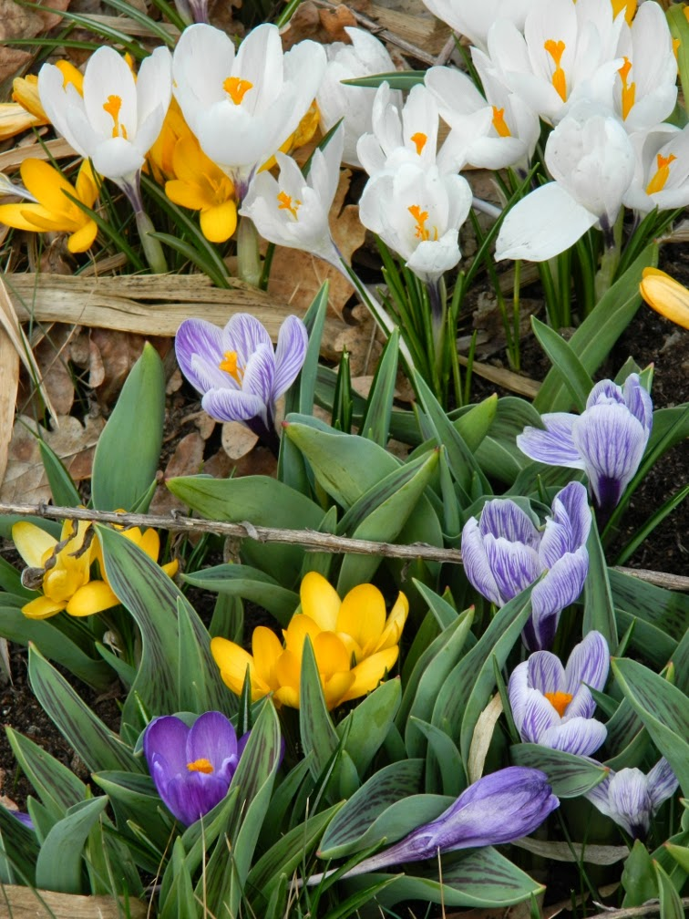 White purple yellow crocus spring blooms Toronto Botanical Garden by garden muses-not another Toronto gardening blog