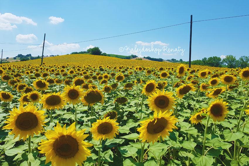 Pole słoneczników w Marche