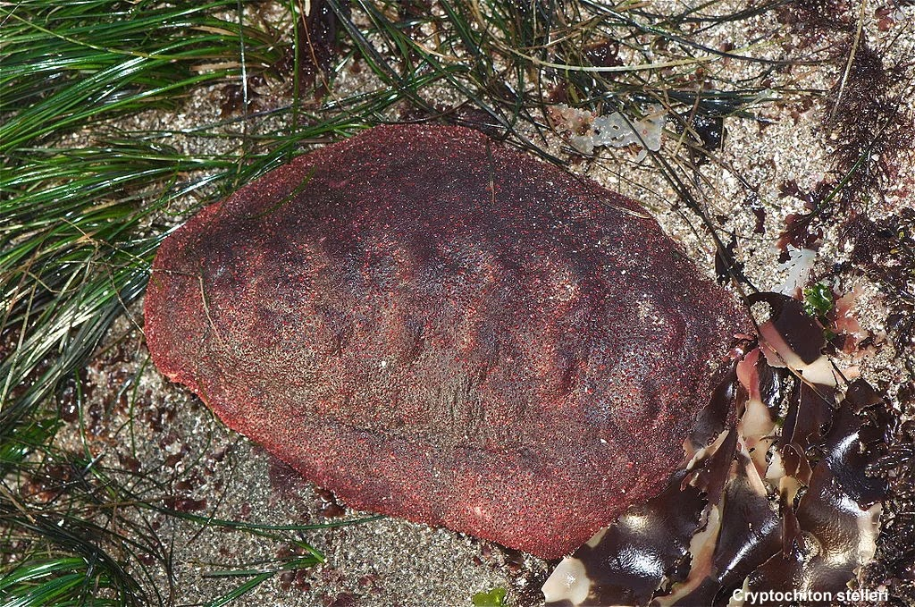 This 'Wandering Meatloaf' Chiton Has Rare Iron Teeth
