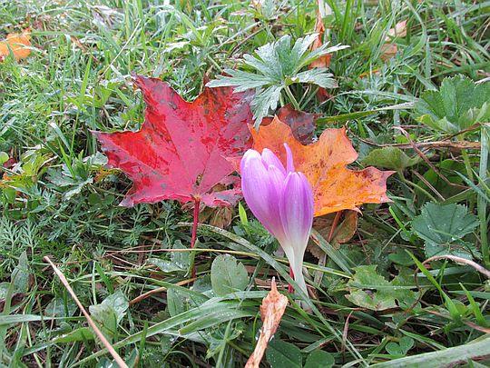 Zimowit jesienny (Colchicum autumnale).