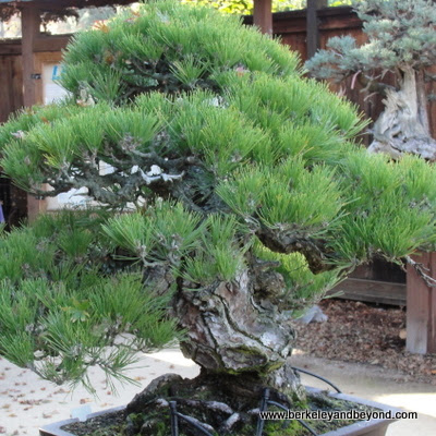 Japanese black pine in Bonsai Garden at The Gardens at Lake Merritt in Oakland, CA