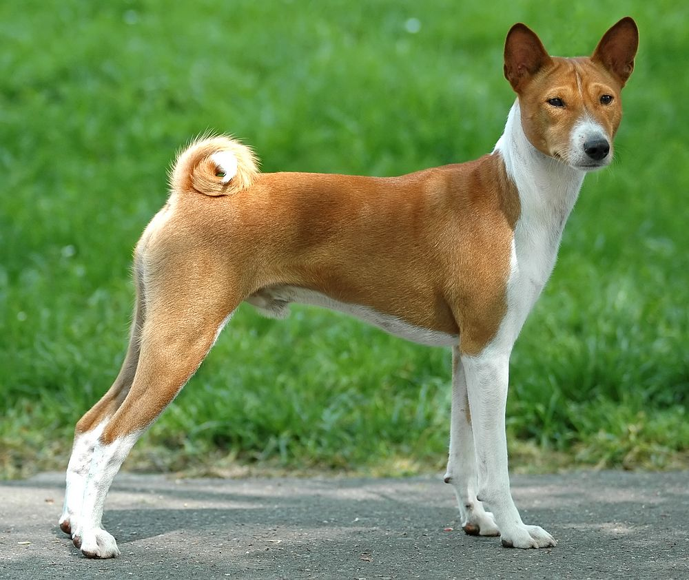 Kamus Anjing Basenji