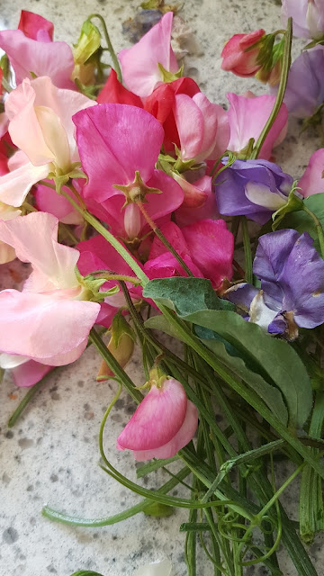 sweet peas blooms at the Camellia