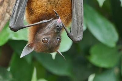 Vírus em morcego rechaça teoria de que Sars-CoV-2 é criação humana