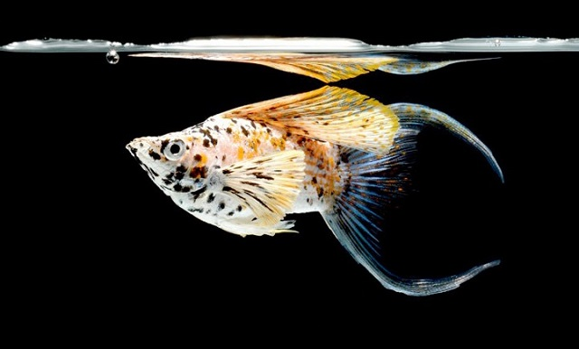 Gambar ikan molly