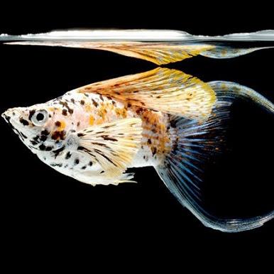 Ikan Molly : Karakteristik, Jenis dan Harga