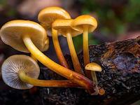 Mengidentifikasi  ciri-ciri jamur (Fungi)