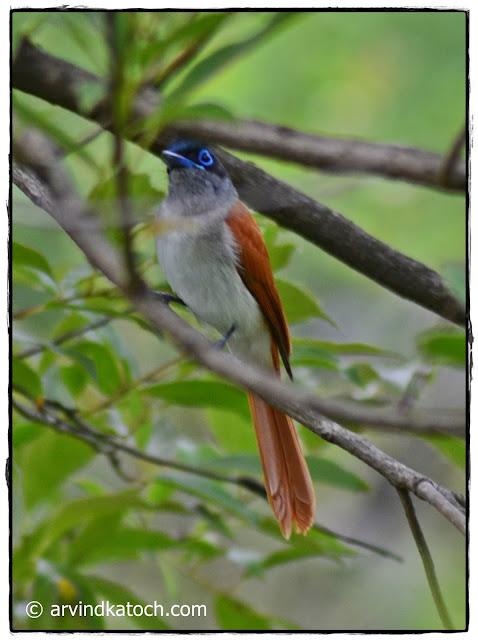 Asian Paradise Flycatcher, Female