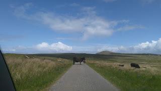 krava na ceste