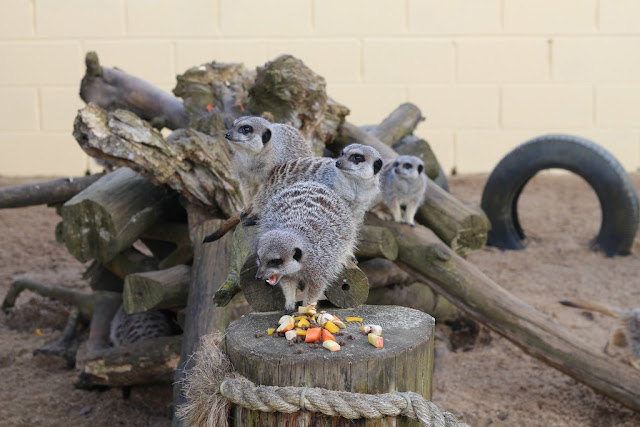 meerkats at suffolk owl sanctuary