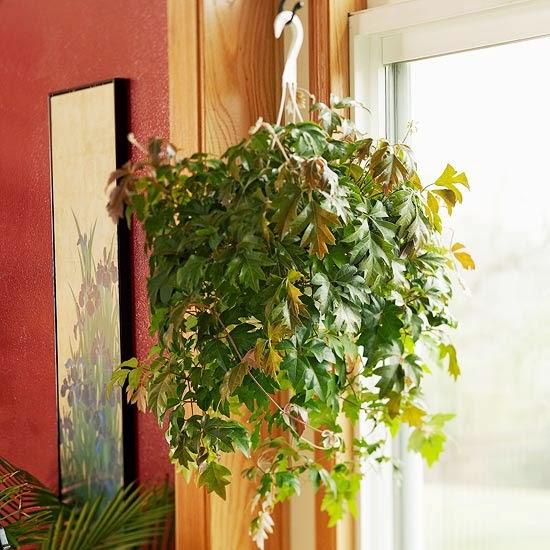 Esta Planta De Porte Colgante Se Llama Cissus Rhombifolia. Si Tuviera Cerca  Un Soporte, Treparía, Porque Emite Zarcillos Para Sustentarse, Es De La  Familia ...